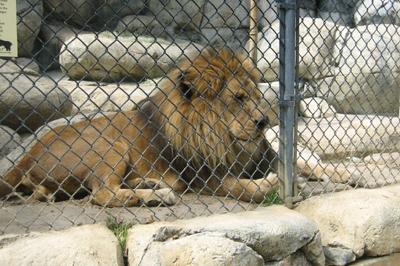 Uskoro lavovi u Pionirskoj dolini