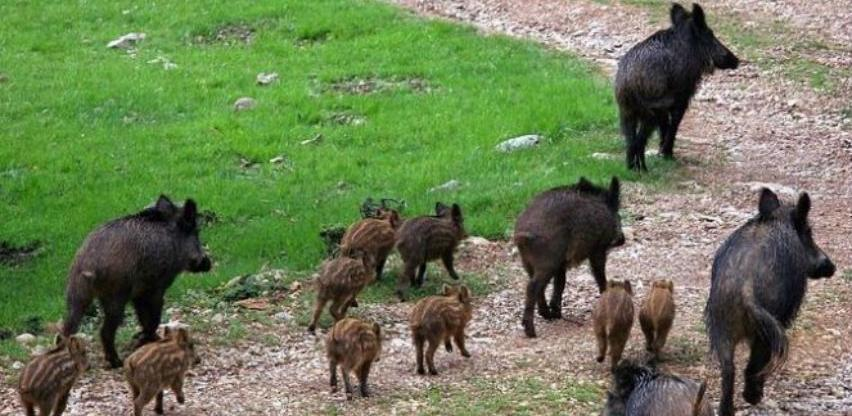 Ministarstvo poljoprivrede RS naložilo odstrel divljih svinja zbog afričke kuge
