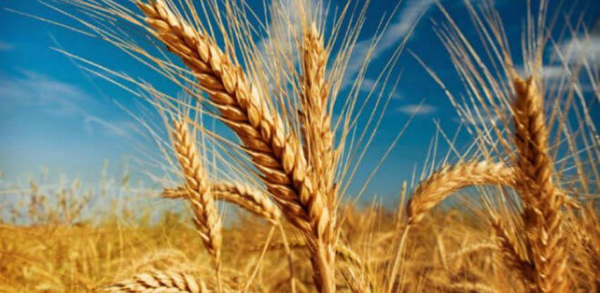 Cijena pšenice novog roda od 140 do 147 eura za tonu