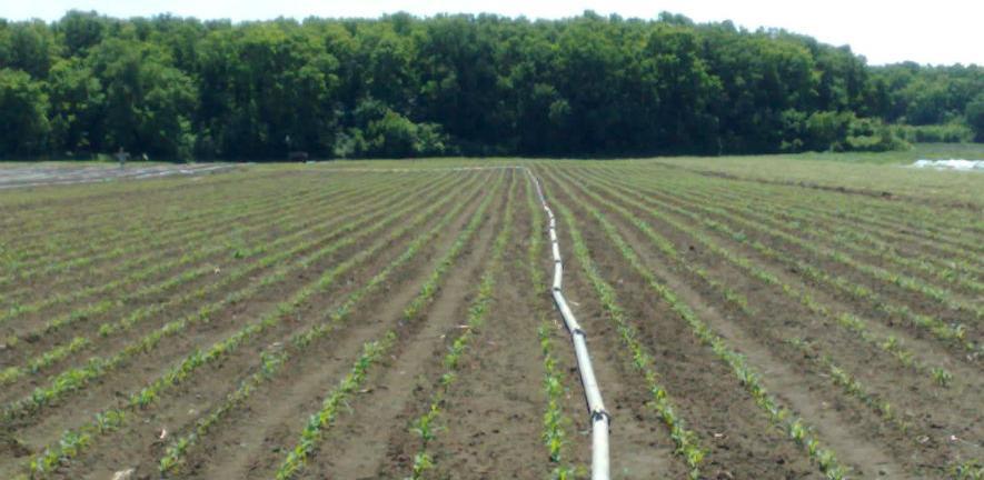 Milioni protjeruju sušu iz plantaža