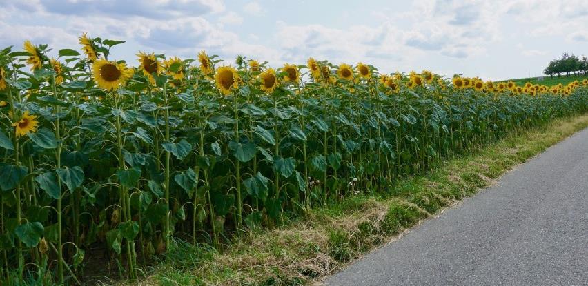 Uljarice rentabilnije od žitarica