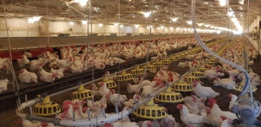 Proizvodnja jaja za uzgoj brojlera u Srpcu raste za 50 posto