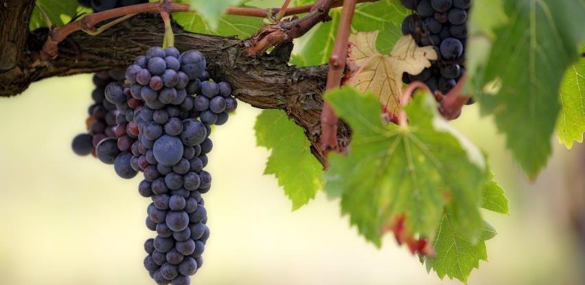 Vinogradari u Hercegovini očekuju dobar rod grožđa