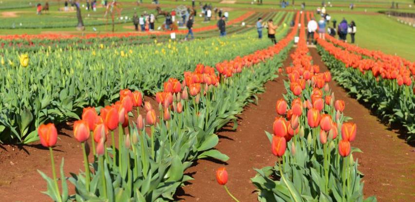 Festival tulipana u Australiji tradicionalno najavio dolazak proljeća