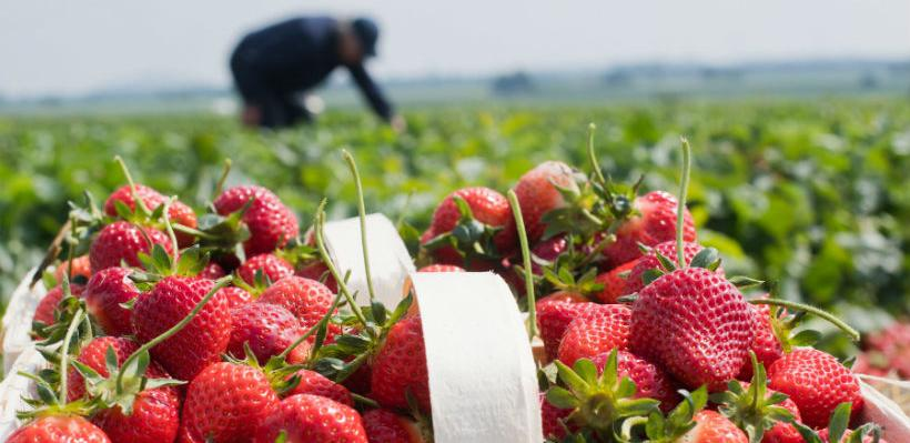 Neophodna diverzifikacija u sektoru proizvodnje jagodičastog voća