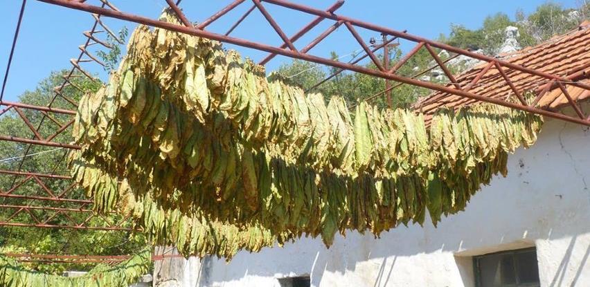 Opala proizvodnja duhana u Hercegovini, loša organizacija otkupa