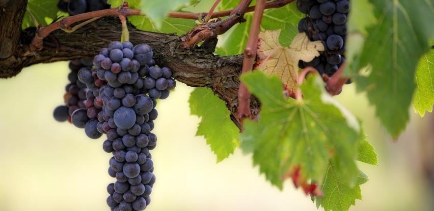 Vinari očekuju berićetnu godinu