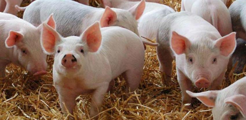 Pašalić: Svinjogojstvo u RS-u ekspanziji