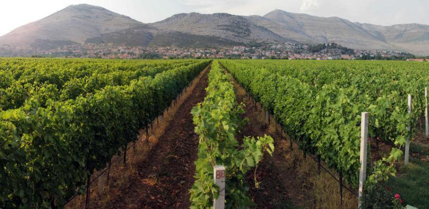 U Carskim vinogradima Vukoje ozvaničen početak 124. berbe