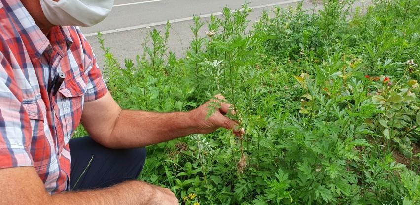 Doba je rasta korovske biljke ambrozije, zaustavite je prije cvjetanja