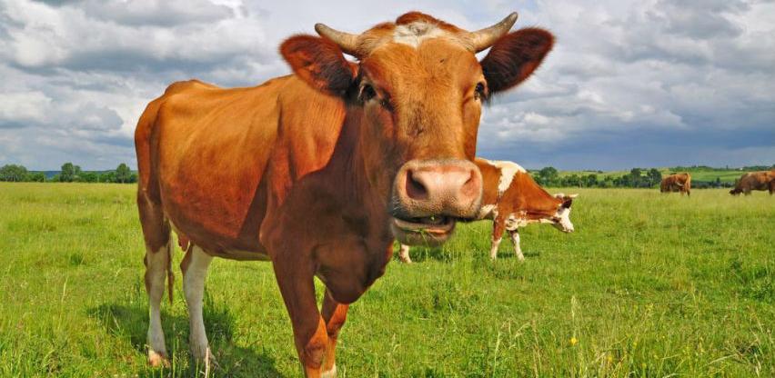 Krajina ima najveće farme visokokvalitetnih muznih grla