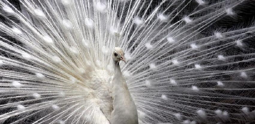 Kraljevske ptice - bijeli paunovi u dvorištu porodice Hajduković