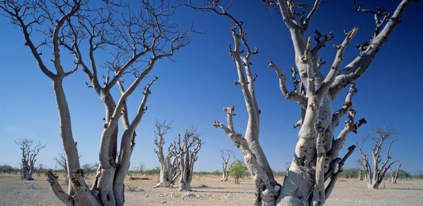 Čudesna moringa: Superdrvo čiji listovi imaju 25 puta više željeza od špinata