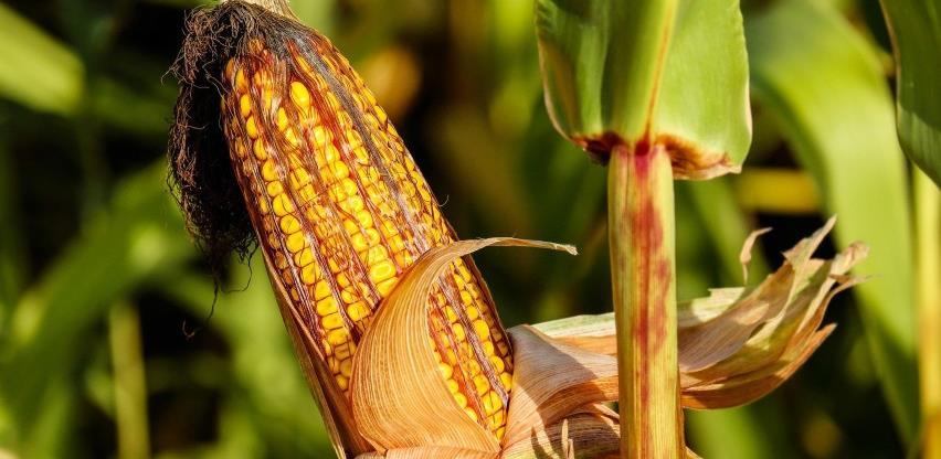 Padavine povoljno uticale na kukuruz