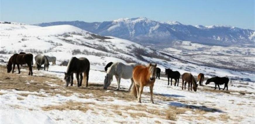 Livanjski konji - posljednje veliko krdo divljih konja u Evropi