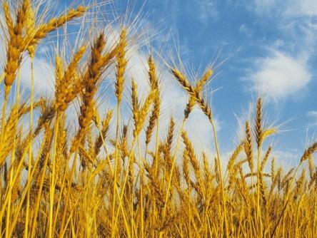 Otkupiti sav ovogodišnji rod pšenice