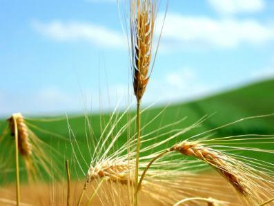 Proizvođači neće prihvatiti cijenu pšenice manju od 37 feninga po kilogramu