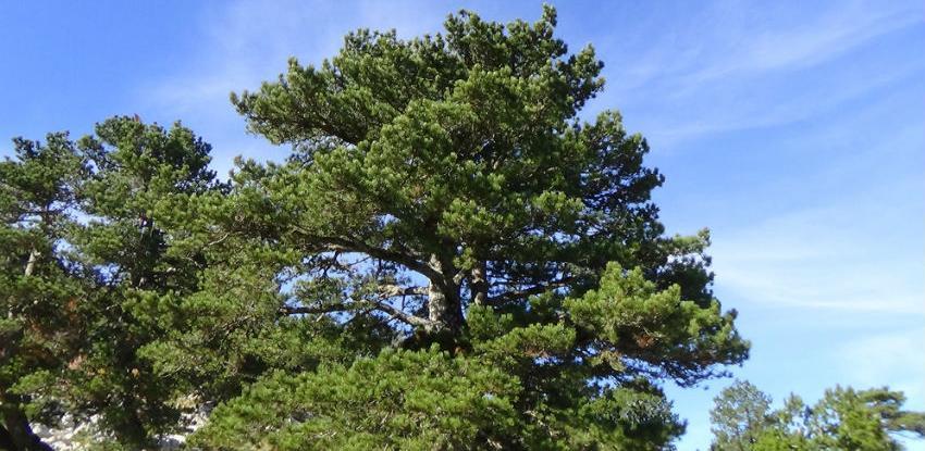 Prenj i Čvrsnica devastirani: Brutalna sječa munike, drveta koje je zaštićeno