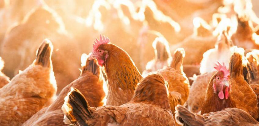 Usvojeni standardi o kontroli kampilobaktera: EU na korak bliže za bh. peradare