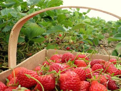 Teorijska edukacija iz oblasti uzgoja jagodičastog voća