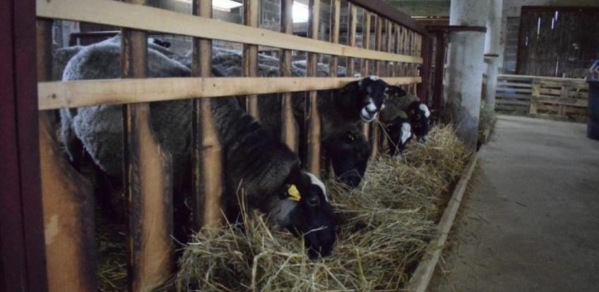 Hacienda de la Vida: Carske ovce našle novi dom u Podastinju kod Kiseljaka