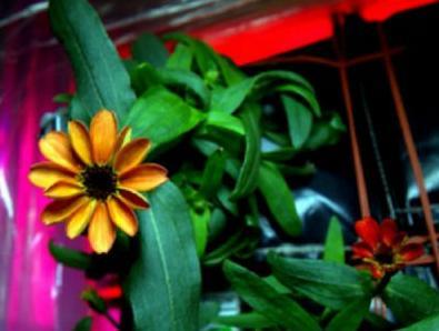 Prvi cvijet uzgojen u svemiru