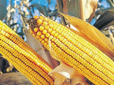 Monsanto objavio: Sjemena koja smo donirali nisu genetski modificirana