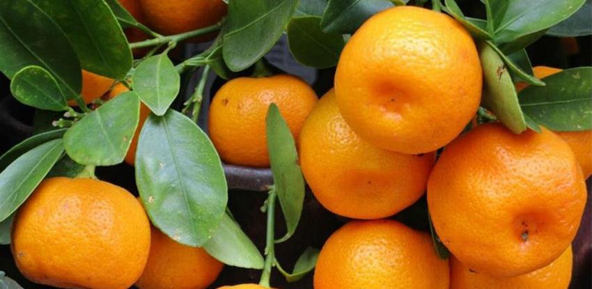 Niko neće neretvanske mandarine: Otkupljivači izigravaju zakon na dva načina