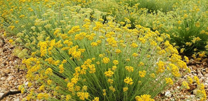 Potpisano 12 ugovora o dodjeli grant sredstava za uzgoj smilja