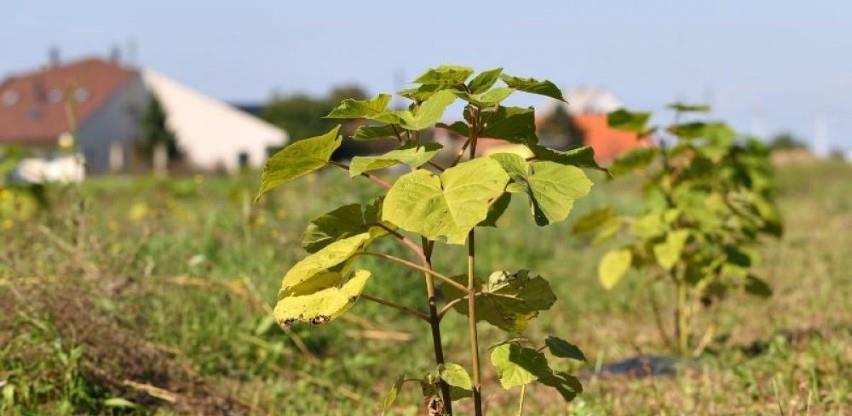 Drvo Paulowonija