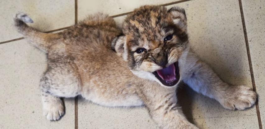 Prinova u Bingo Zoo vrtu: Lavica Nina okotila tri mladunčeta