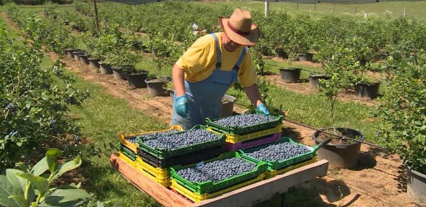 Bihaćka plantaža američke borovnice sa 6000 sadnica opravdava svoje postojanje