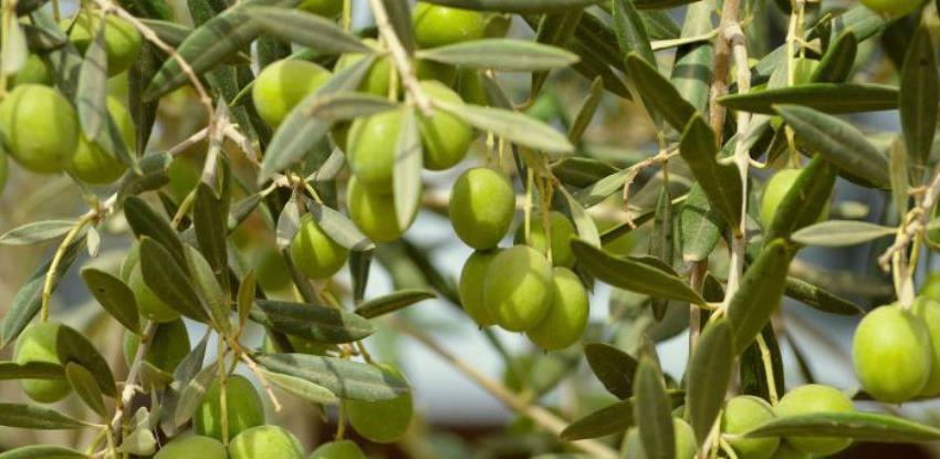 Čapljina daje koncesiju na zemljište radi sadnje maslina i voćnjaka