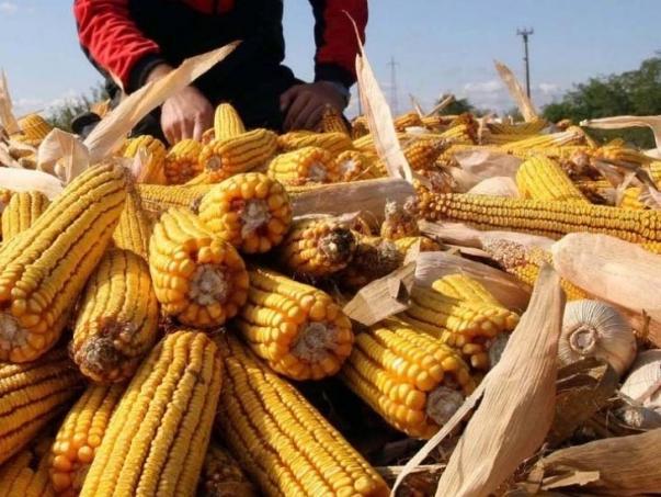 Poskupljuju pšenica i kukuruz u BiH