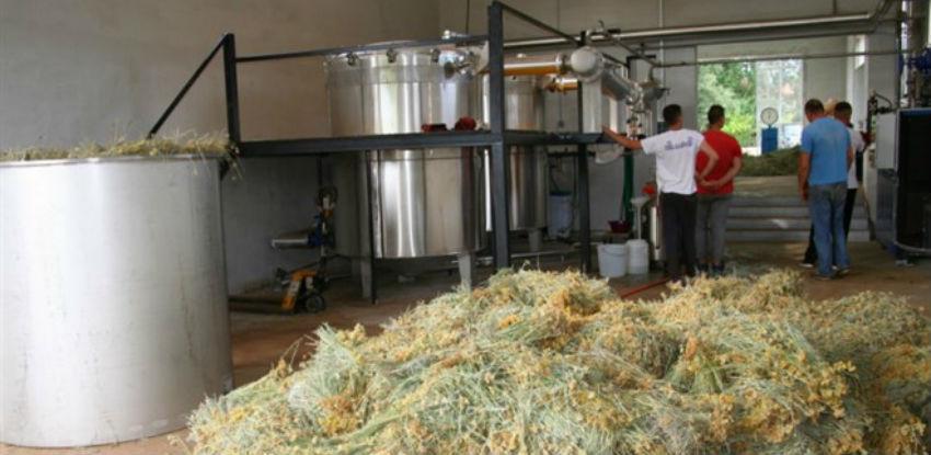 Destilerija iz Drinovaca otkupila 150 tona smilja