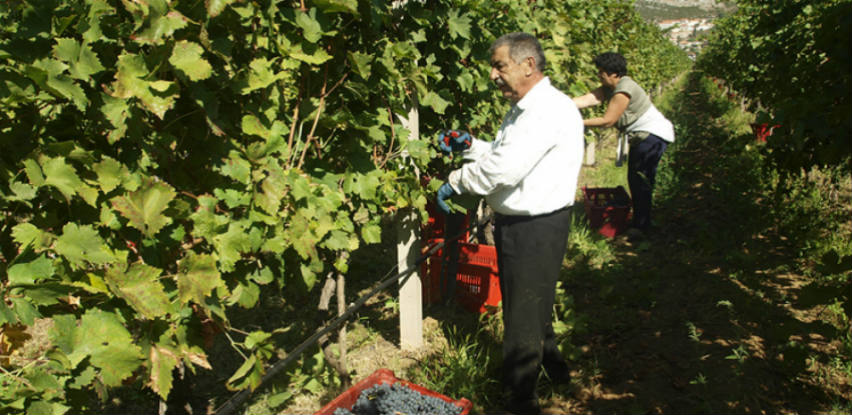 Berba u trebinjskim vinogradima: Kvalitet grožđa odličan, ali prinosi manji