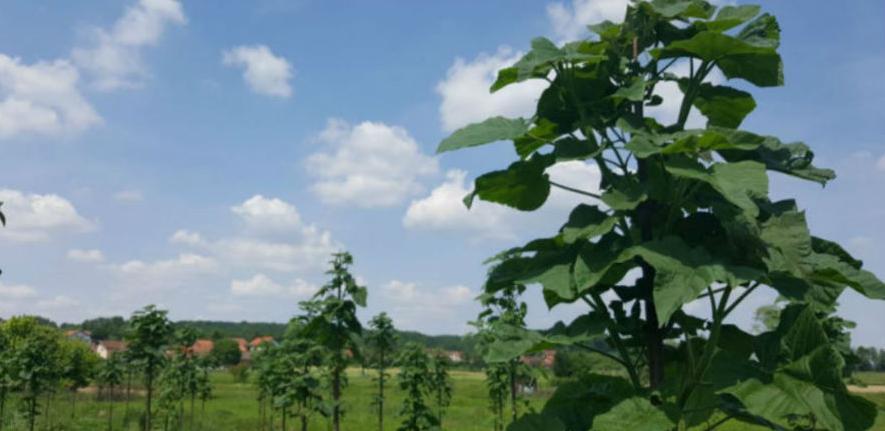 Brzorastuće stablo paulovnija sve popularnije u Hercegovini