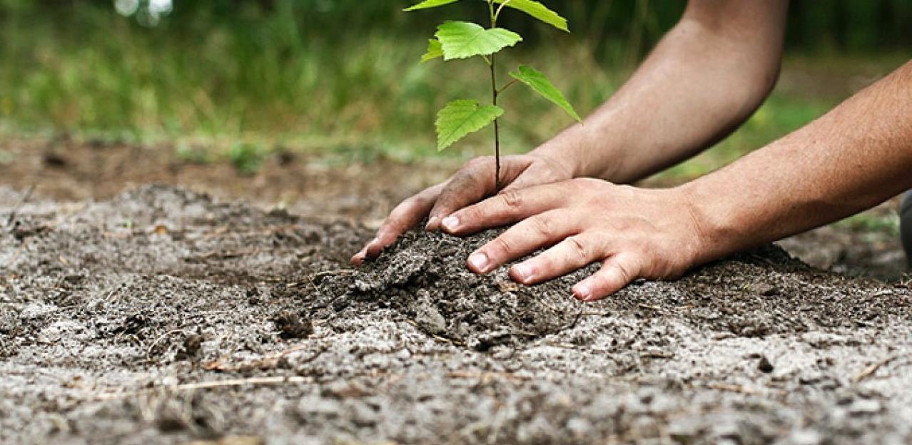 šume sadnice