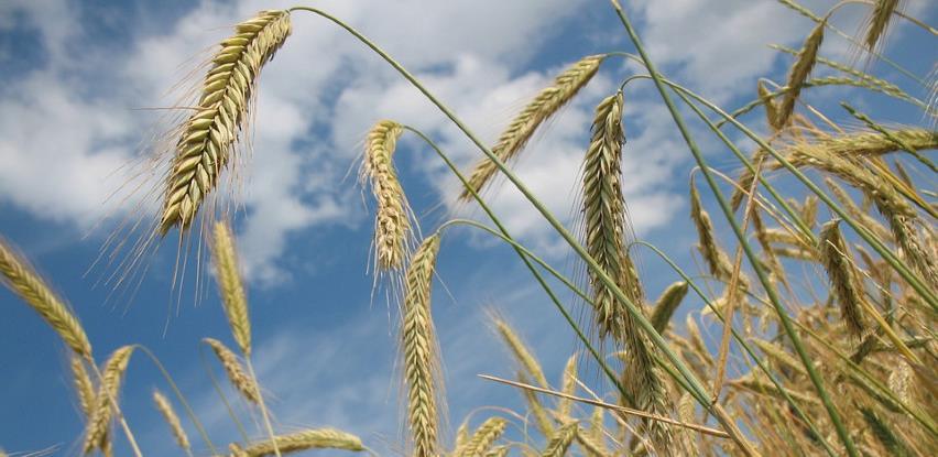 Otkupna cijena pšenice oko 30 feninga, potražnja opala