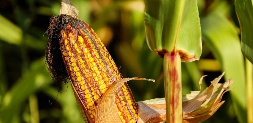 Uzgoj kukuruza ne isplati se više bez navodnjavanja, šta kažu nadležni?