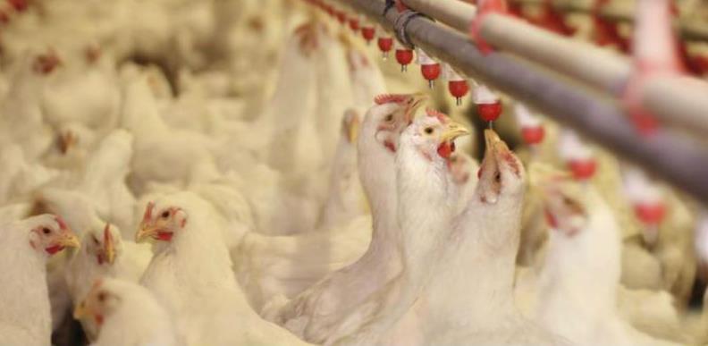 Na tri farme tovne peradi u KS-u salmonelom zaraženo 20.436 pilića