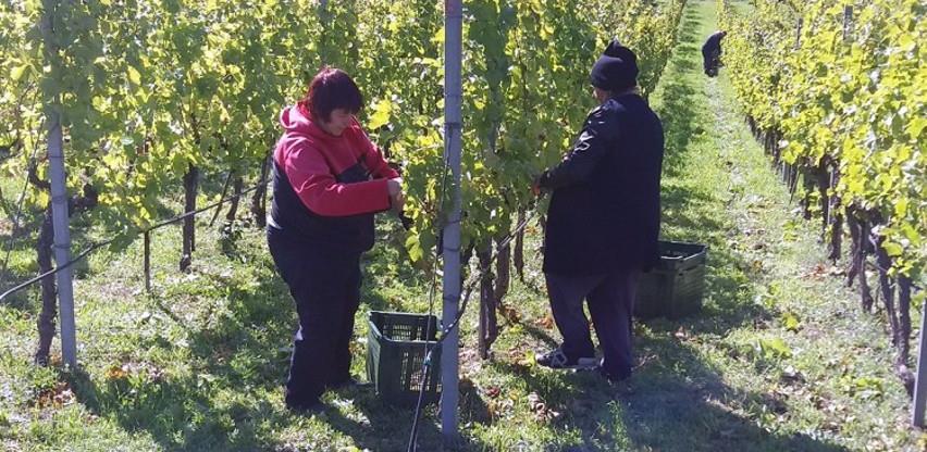 Počela berba grožđa u Carskim vinogradima kod Trebinja
