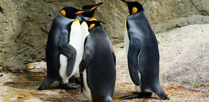 Najvećoj koloniji kraljevskih pingvina prijeti nestanak