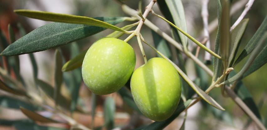 Obitelj Martić u Grudama proizvodi vrhunsko maslinovo ulje