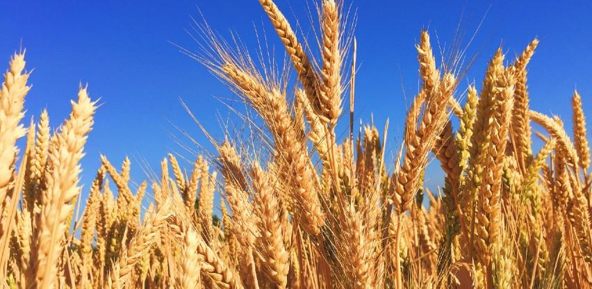 Visoka temperatura smanjiće prinose i kvalitet žitarica