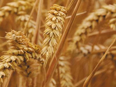 Otkupna cijena pšenice 0,36 km po kilogramu