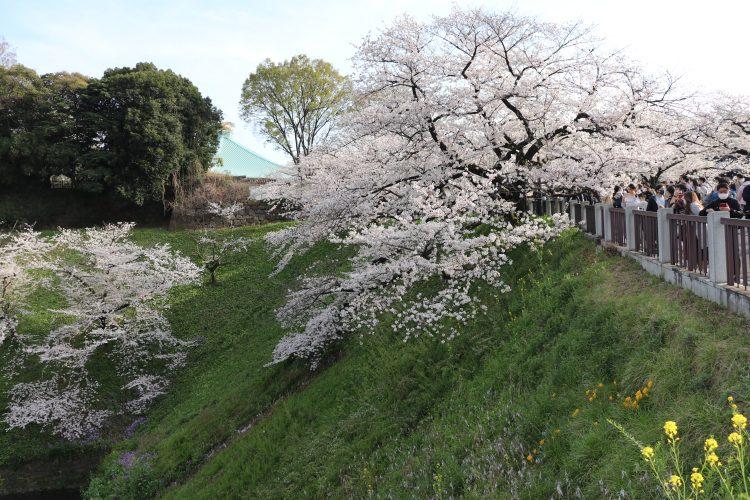 Japanci uživaju u trešnjinom cvijetu