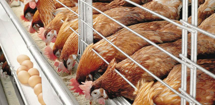U Drvaru uništena farma koka zbog salmonele, vlasnici ogorčeni