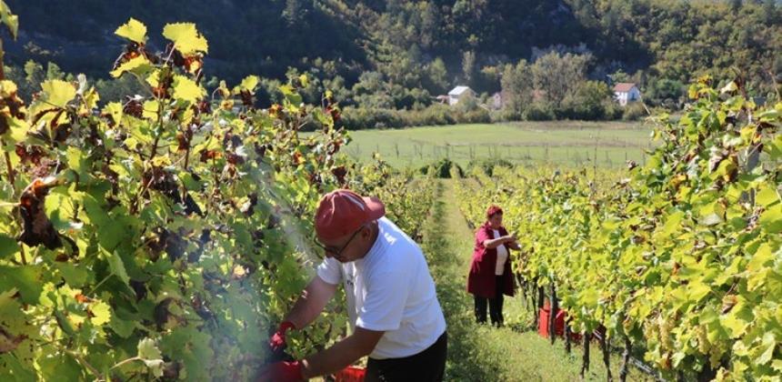 Hercegovački vinari očekuju mnogo od novog zakona o vinu BiH