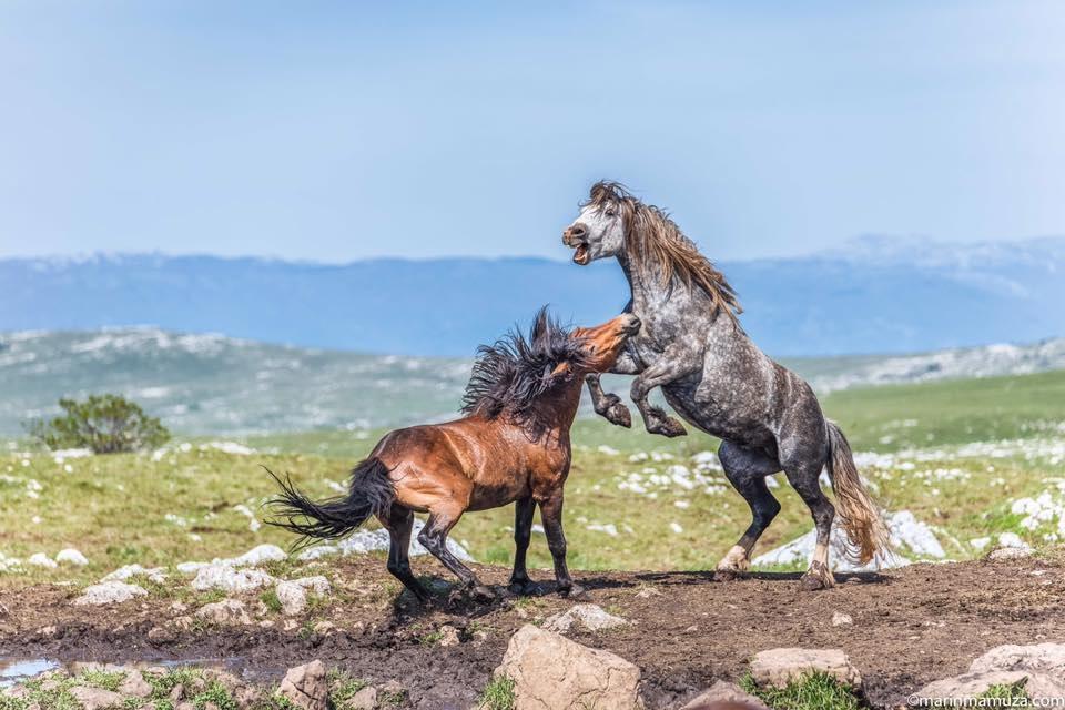 Marin Mamuza, čovjek koji se vratio u BiH zbog livanjskih konja
